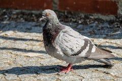 Pigeon at Vysehrad, Prague. stock images