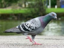 Pigeon Walk. A pigeon  walking at the side of a river - note the motion in the foot Royalty Free Stock Photography