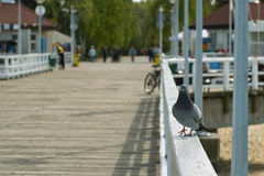Pigeon on the walk Stock Photo