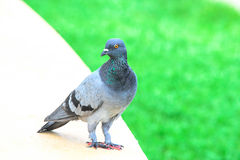 Pigeon walk on grass Stock Images