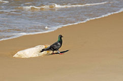 Pigeon walk on the shore Stock Photography