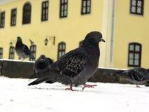 Pigeon walking Royalty Free Stock Photos