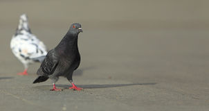 Pigeon walking Royalty Free Stock Images