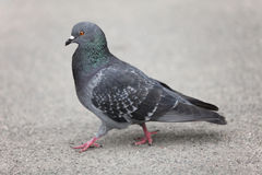 Pigeon walking Royalty Free Stock Image