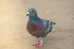 Pigeon walking alone Royalty Free Stock Image