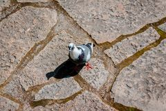 Pigeon walking along a stone path on a sunny day royalty free stock photo