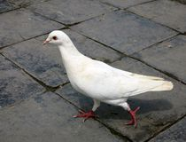 Pigeon. Walking around on stone pavement at a park in a city stock images