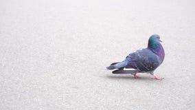 Pigeon walking on asphalt. Outdoors stock video footage