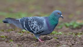 Pigeon walking on bare field ground with brown soil in search for food and seeds royalty free stock photography