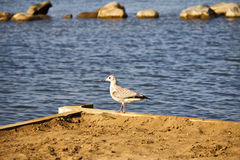 Pigeon walking the beach. A pigeon walking along the edge of a beach with the lake and rocks in the background Royalty Free Stock Image