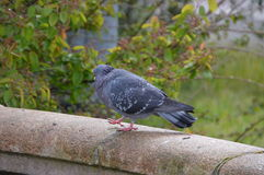 Pigeon Walking On A Bridge. In Amsterdam The Netherlands. Amsterdam`s favorite bird Stock Images