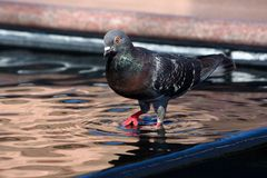 Pigeon walking in city fountain Royalty Free Stock Photos
