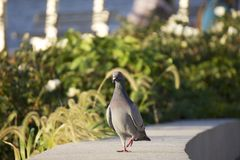 Pigeon, Walking. A pigeon (Columbidae) strolls along a concrete  path Stock Photos