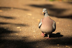 Pigeon walking Stock Photo