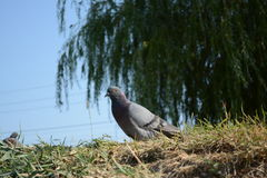Pigeon. Walking on the grass pigeon stock photo