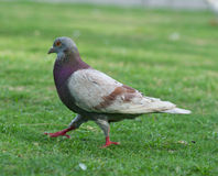 Pigeon walking on grass lawn Stock Images