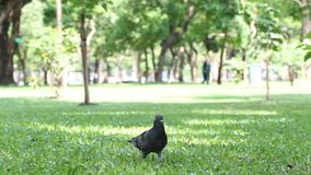 Pigeon walking stock footage
