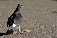 Pigeon walking Stock Images