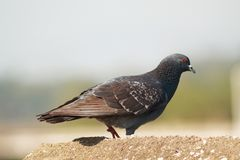 Pigeon walking over the roof royalty free stock images