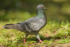 Pigeon. Walking in the park Royalty Free Stock Photos