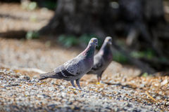 Pigeon walking in the park. A couple pigeon walking in the national park, finding food Stock Images