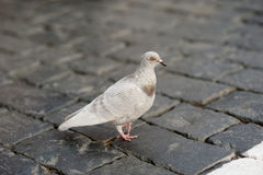 Pigeon walking on paving stone road Stock Photos