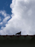 Pigeon Walking on The  Roof Royalty Free Stock Photography