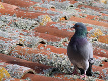 Pigeon walking on the roof. Top full of lichen Stock Photos