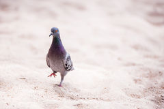 Pigeon walking on sand Royalty Free Stock Photography