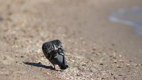 Pigeon walking on the sand near the sea stock footage
