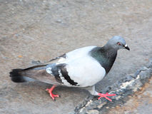 Pigeon Walking on Sidewalk Stock Image