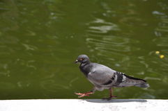 Pigeon walking Stock Image