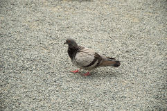Pigeon walking Stock Photography
