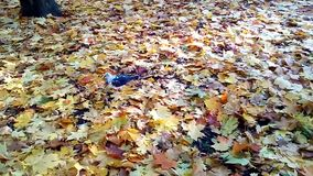 Pigeon walking on autumn leaves. stock video footage