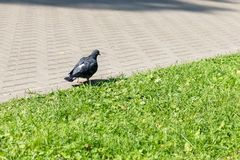 Pigeon walks along the path near the lawn in the park stock photo