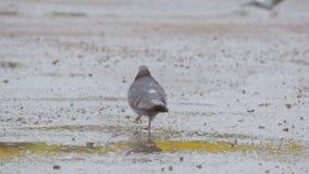 Pigeon walks on dirt slow motion video stock video