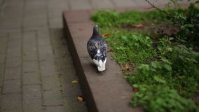 Pigeon walks on pavement and flowerbeds. Alone grey pigeon walking on pavement and flowerbeds stock video