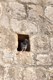 Pigeon in wall Royalty Free Stock Images