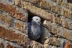 Pigeon in the wall Royalty Free Stock Photos