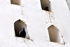 Pigeon in the wall Stock Photo