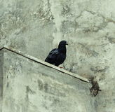 Pigeon On The Wall Of Concrete. Indian Black pigeon resting on concrete wall Stock Photography
