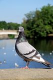 Pigeon on wall, Derby. royalty free stock image
