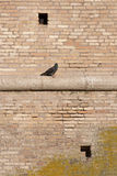 Pigeon on a wall. In ostia near rome, italy Royalty Free Stock Photos