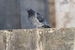 Pigeon on wall. A pigeon sitting on top of a stone wall stock image
