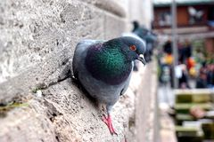Pigeon. On the wall red eye Royalty Free Stock Photos