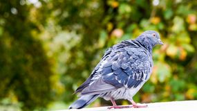 A pigeon on a wall. Ruffling its feathers Royalty Free Stock Image