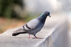 Pigeon on the wall's edge Royalty Free Stock Images