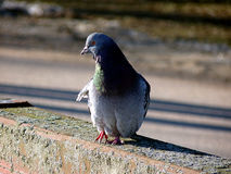 Pigeon. Watching the surroundings near the coastline Stock Photography