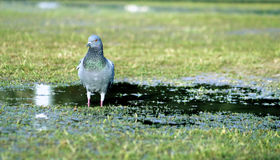 Pigeon on water. A pigeon looking for its prey on shallow water Royalty Free Stock Photos