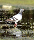 Pigeon on water. A pigeon looking for its prey on shallow water Stock Image